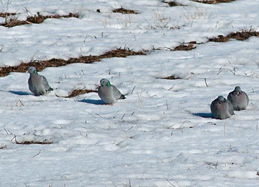 Skogsduvan med sin vackra blåaktiga fjäderdräkt kommer sällsynt fram till matningen