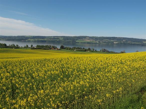 Høstrapsen er gul og fin i Neslandskapet
