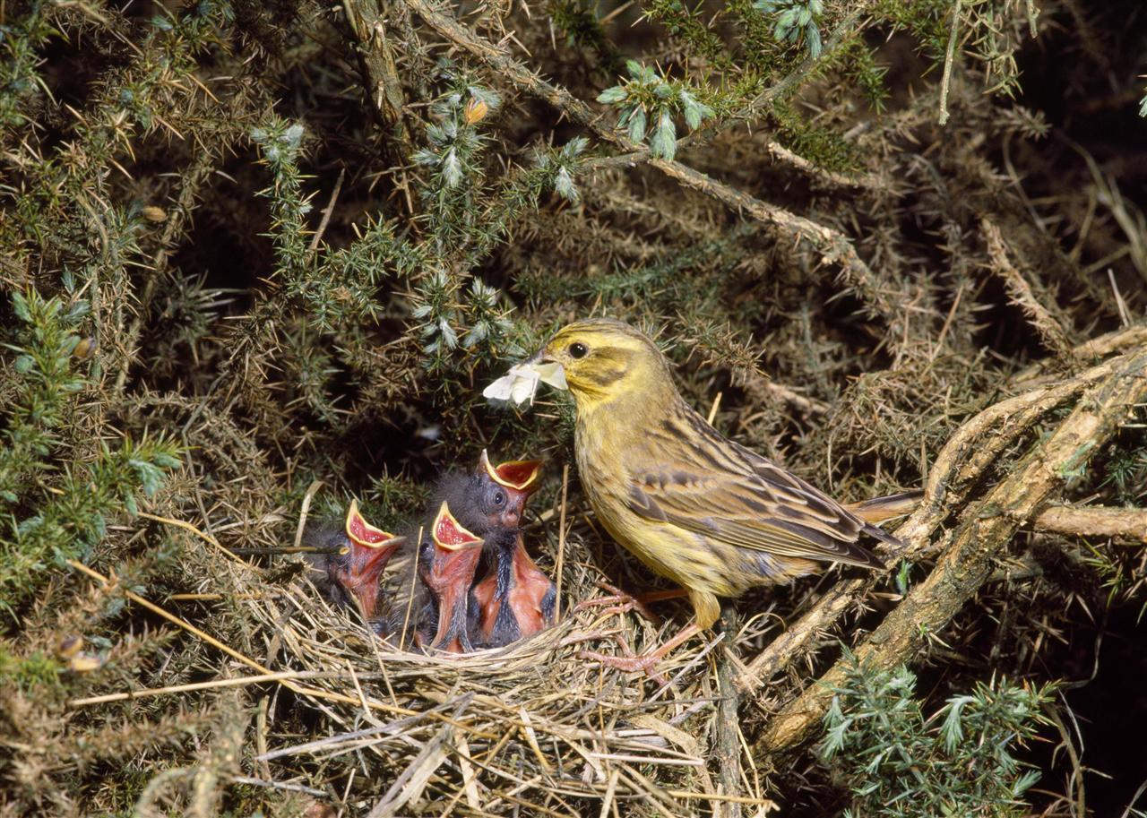 Gulsparv matar sina ungar med insekter