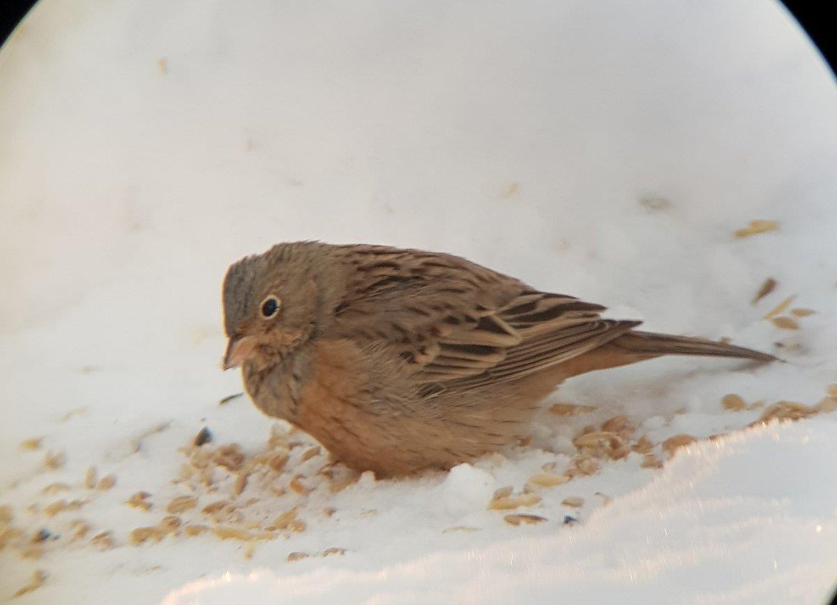 Rostsparven på fågelmatning i Skutskär 2019