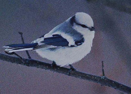 Azurmesen - en dröm för varje fågelmatare!
