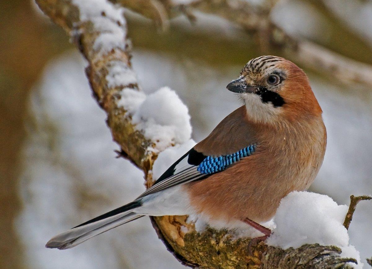 Nötskrikan, exotisk skogsfågel kan besöka din fågelmatning