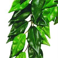 Ficus, Small