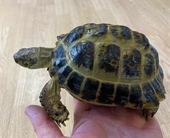 Testudo horsfieldii, Rysk Stäppsköldpadda