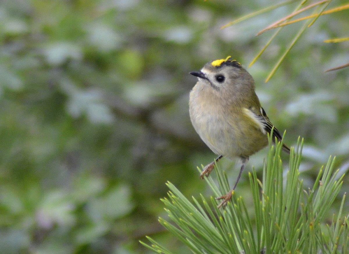 Kungsfågel - Sveriges minsta fågel