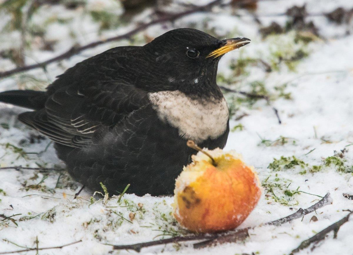 Ringtrasten är ovanlig på fågelmatningar