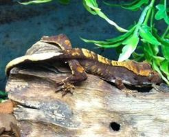 Correlophus ciliatus, Ögonfransgecko