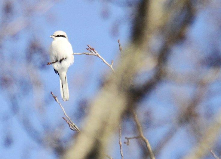 Varfågeln kan komma fram till matningen och äta småfåglar o möss