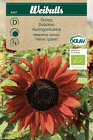 Solros 'Velvet Queen' KRAV Organic