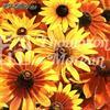 Rudbeckia Sommar- 'Rustic Dwarfs Mix'