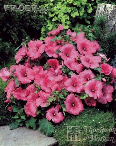 Malva Sommar- 'Twins Hot Pink'