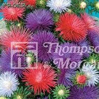Aster 'Starlight Mix'