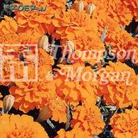 Tagetes Sammets- 'Boy o Boy Orange'