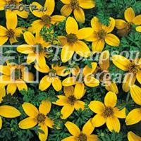 Bidens 'Golden Eye'