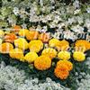 Tagetes 'Sunspot Mix'