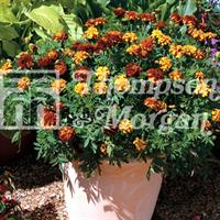 Tagetes 'Mr Majestic Doubles'