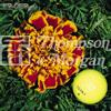 Tagetes 'Colossus'