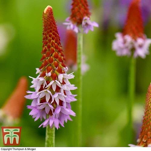 Viva Hyacint-
