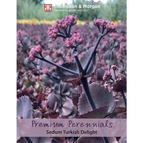 Sedum 'Turkish Delight'