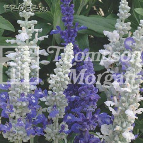 Salvia Dagg- 'Seascape Mix'