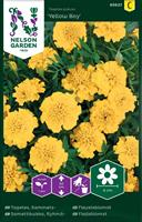 Tagetes Sammets- 'Yellow Boy'