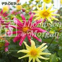 Dahlia 'Starlight Mix'