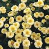Krysantemum 'Primrose Gem'