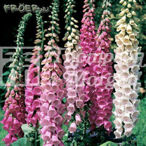 Fingerborgsblomma 'Excelsior Hybrids Mix'