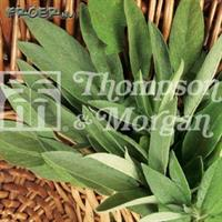 Salvia Krydd-