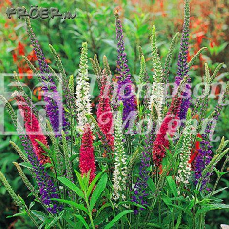 Veronica 'Mixed Colours'