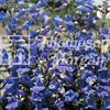 Penstemon 'True Blue'