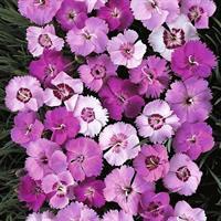 Nejlika Fjäder- 'Ipswich Pinks' mixed