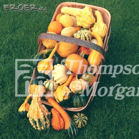 Prydnadspumpa 'Autumn Glory'