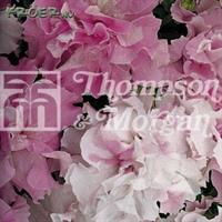 Petunia 'Cascade Pink Orchid Mist' F1