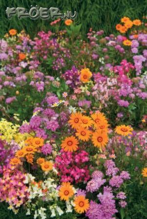 Blomsterblandning 'Fairy Mix' Ettårig