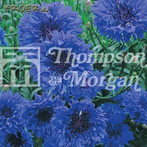 Vildblommor Blåklint 'Blue Diadem'