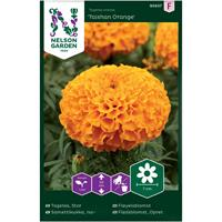 Tagetes Stor- 'Taishan Orange'