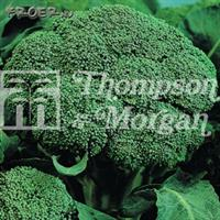 Broccoli 'Belstar F1'