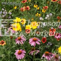 Vildblommor 'Honey Bee Flower' Mix