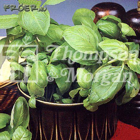 Basilika 'Sweet Green'