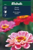 Zinnia 'Dahlia'