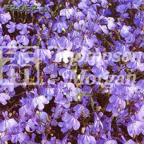 Lobelia Häng- 'Blue Cascade'