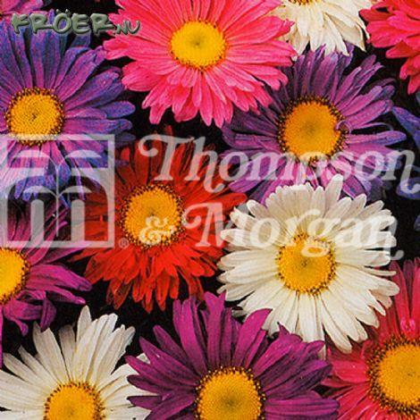 Aster 'Giant Single Andrella Mix'