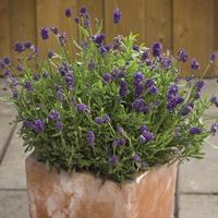 Lavendel 'Mini Blue'