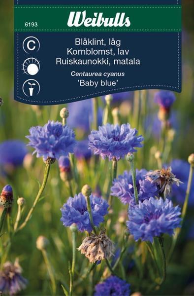 Blåklint 'Baby Blue' låg