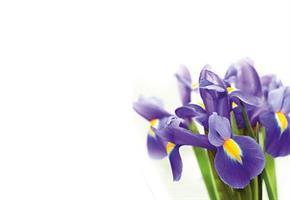 Oasis Kort Purple Iris