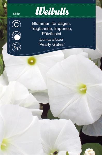 Blomman för Dagen 'Pearly Gates'