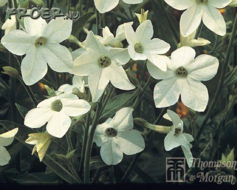 Blomstertobak 'Fragrant Cloud'