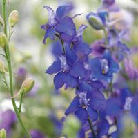 Riddarsporre Sommar- Kinesisk 'Gentian Blue'