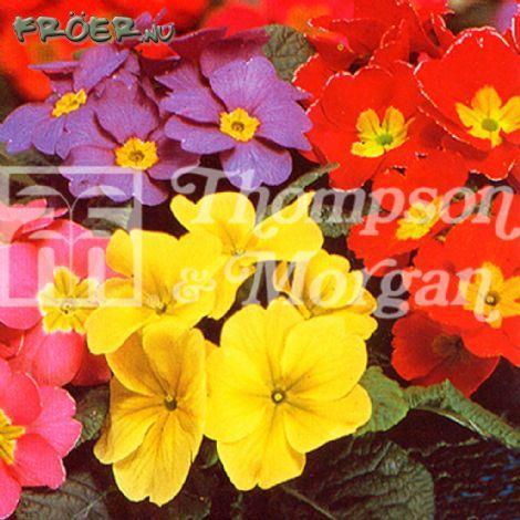 Primula 'T&M Special Giant Flowered Mix'